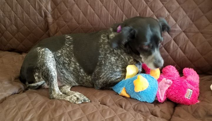 Sassy, an adoptable Australian Cattle Dog / Blue Heeler Mix in Cincinnati, OH