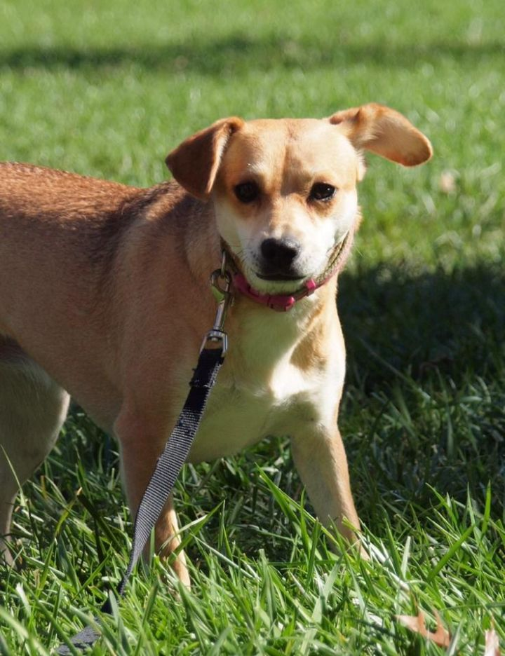 Marsha, an adopted Rat Terrier & Chihuahua Mix in Cincinnati, OH