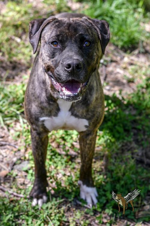 Greyson, an adoptable Pit Bull Terrier in Dallas, GA