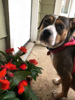Milledge, an adopted Beagle & American Bulldog Mix in Athens, GA