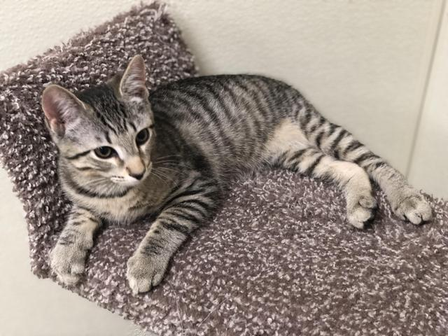 Aries!, an adopted Domestic Short Hair in Myerstown, PA
