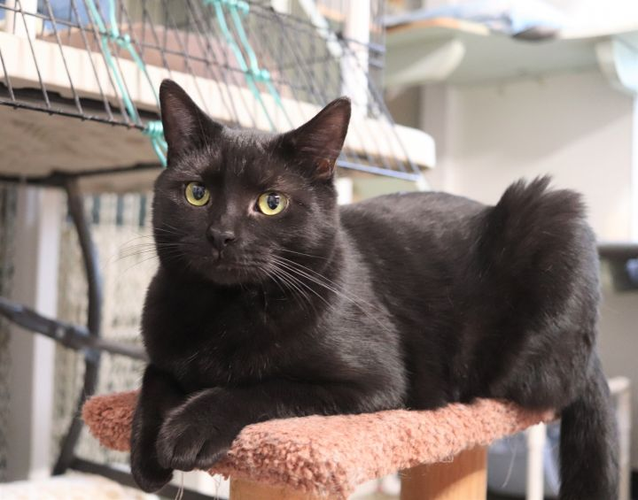 Wally, an adopted Domestic Short Hair in Boiling Springs, PA