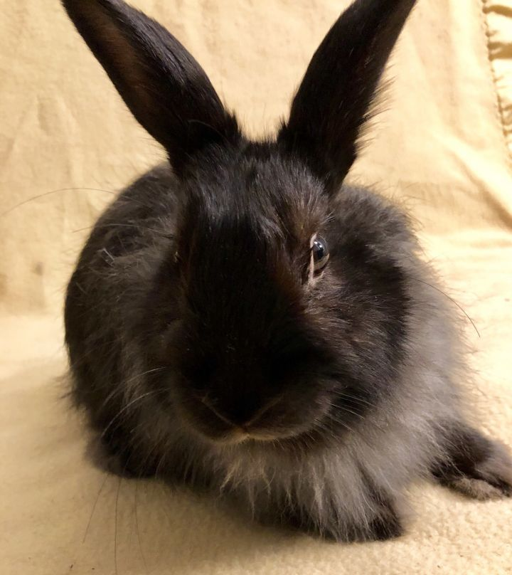 Rabbit For Adoption Ursula A Bunny Rabbit Jersey Wooly