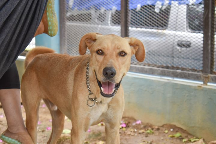 Amos, an adopted Labrador Retriever Mix in Loiza, PR