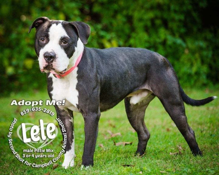 LeLe, an adopted Pit Bull Terrier in Melbourne, KY
