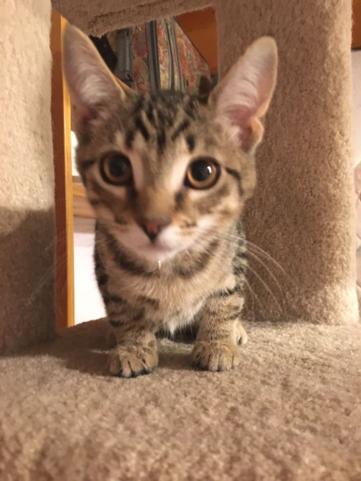 Taffy, an adoptable Tabby in Anaheim, CA