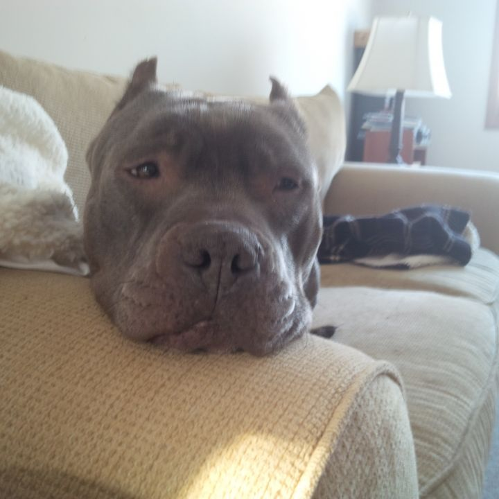 Dog for adoption - HALLIE, an American Staffordshire Terrier