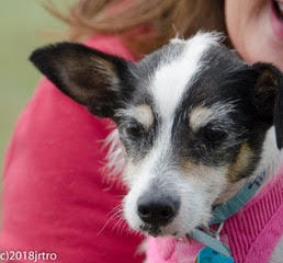 Braven, an adopted Jack Russell Terrier in Toronto, ON