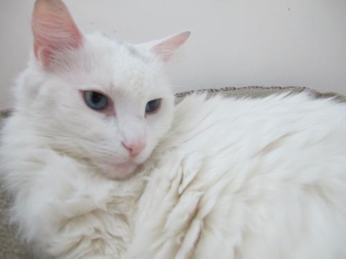 Cat For Adoption Sasha The Turkish Angora Mix Near Brooklyn Ny