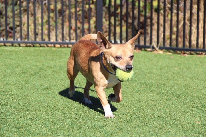 Crew  4-108-19 A, an adopted Chihuahua Mix in Grass Valley, CA