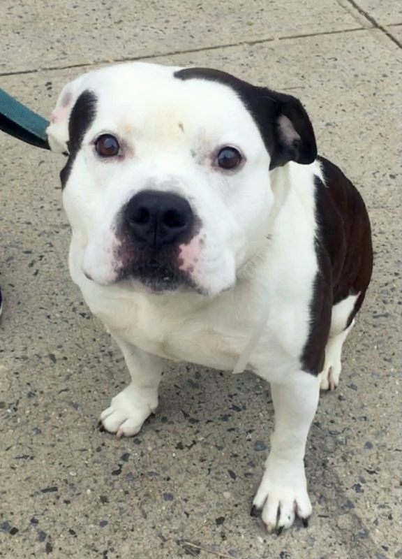 Bobo, an adopted English Bulldog & Staffordshire Bull Terrier Mix in New York, NY