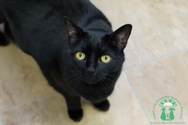 Prissy, an adoptable Domestic Short Hair Mix in Papillion, NE