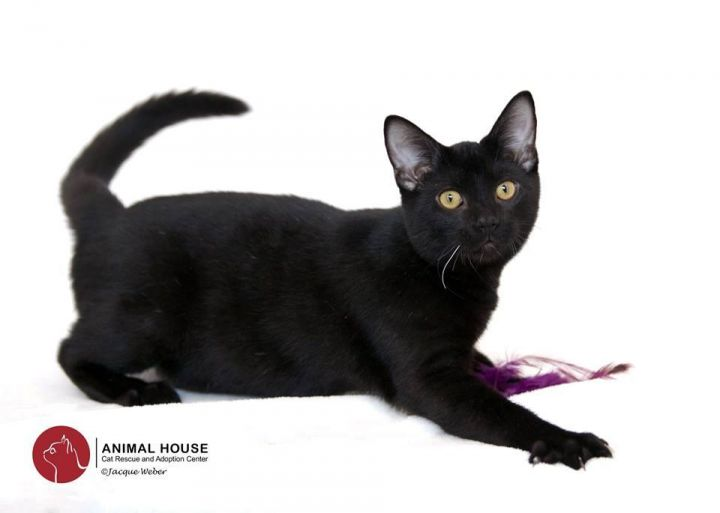 Windsor, an adoptable Domestic Short Hair in St. Louis, MO