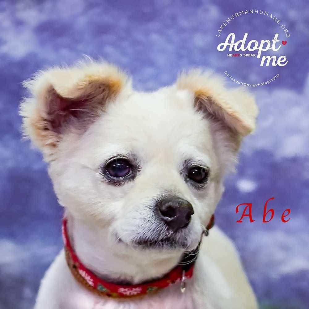 Dog For Adoption Abe Near Mooresville Nc Petfinder