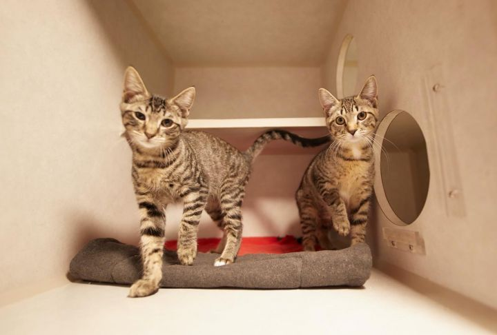 KIK & WECHAT, an adopted Domestic Short Hair Mix in New York, NY