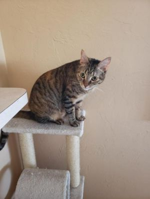 Cat for adoption - Tinkerbell, a Domestic Short Hair Mix in
