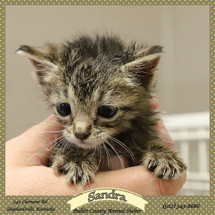 Sandra, an adopted Domestic Short Hair in Shepherdsville, KY