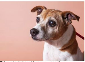 Miss Jenny is a ten year old 25 pound rat terrier This sweet girls does well with others and has