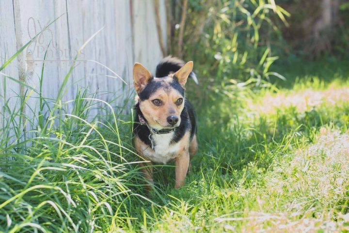 Miso, an adoptable Chihuahua & Dachshund Mix in Kennewick, WA