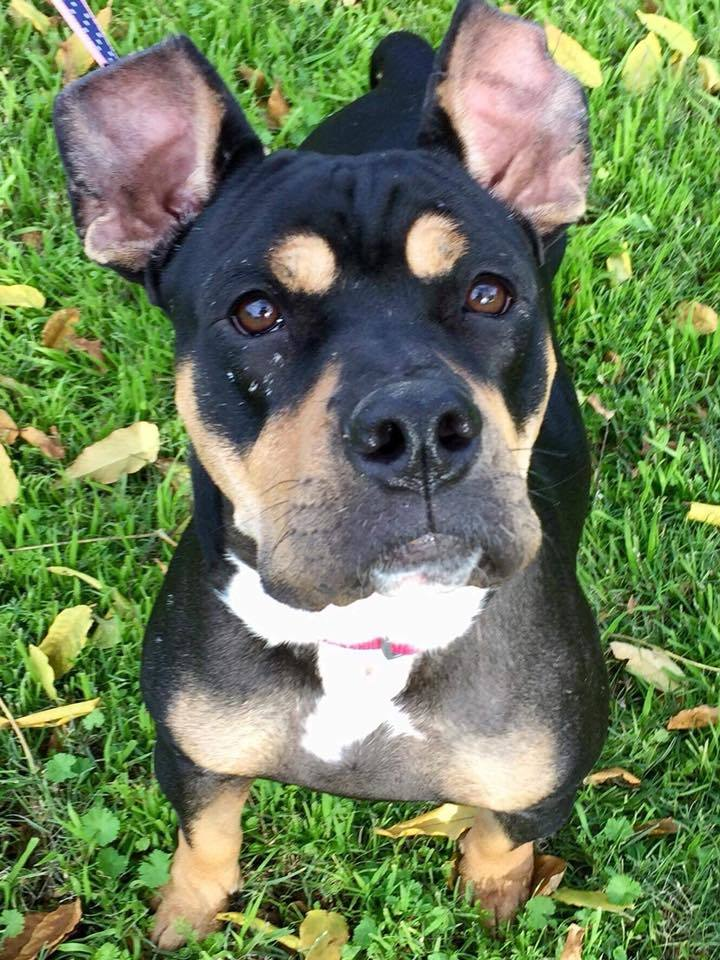 Dog for adoption - Kori, a Rottweiler & Boxer Mix in Wichita