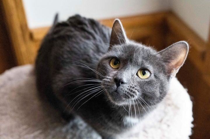 Pebble, an adopted Domestic Short Hair in Fort Smith, NT