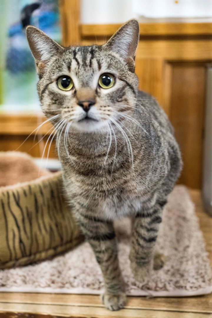 Kashmere, an adopted Domestic Short Hair in Fort Smith, NT
