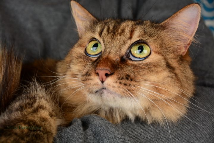 Moochie, an adopted Maine Coon & Tabby Mix in Waxhaw, NC