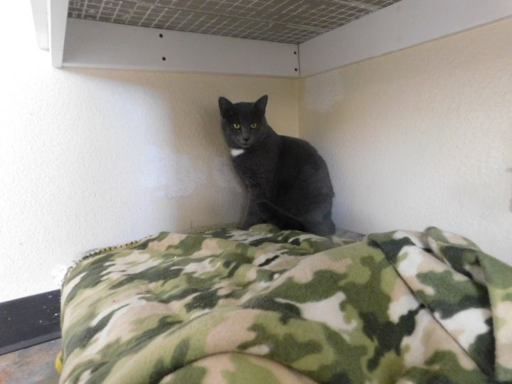 Sterling, an adoptable Domestic Short Hair in Ridgway, CO