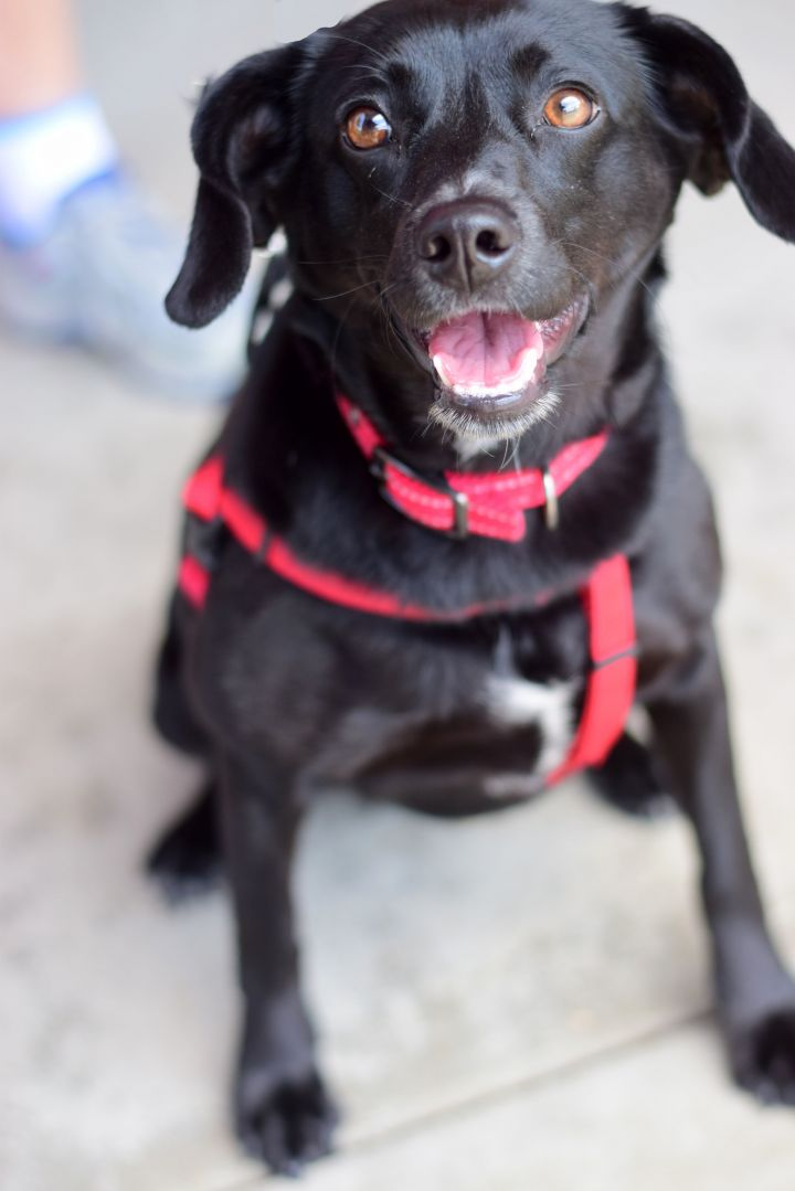 Hollee, an adoptable Dachshund & Terrier Mix in Roselle, IL