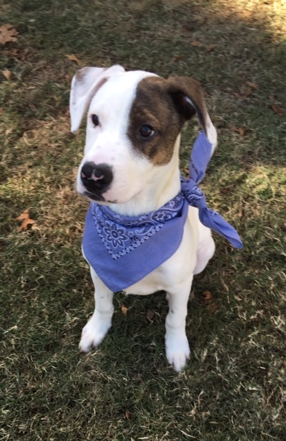 Dog for adoption - Hobbes, a Pit Bull Terrier & Pointer Mix