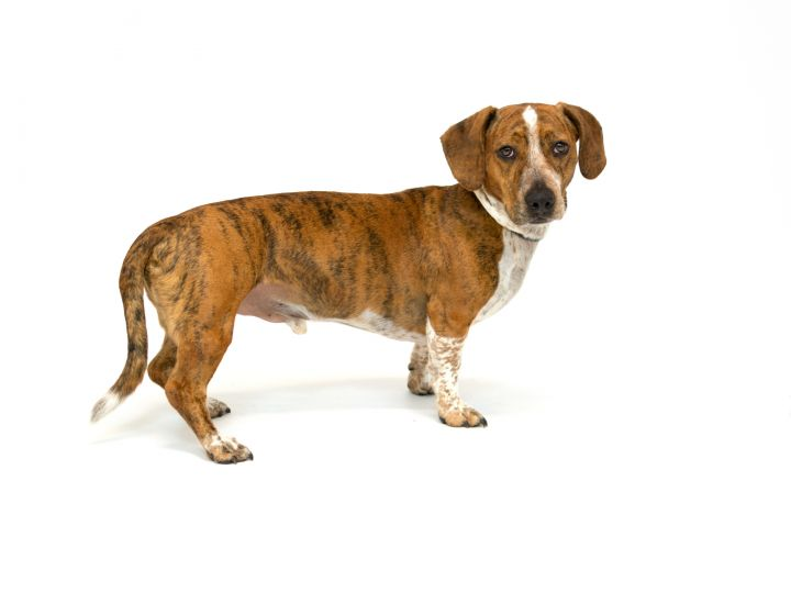 Dempsey, an adopted Basset Hound Mix in Pawleys Island, SC