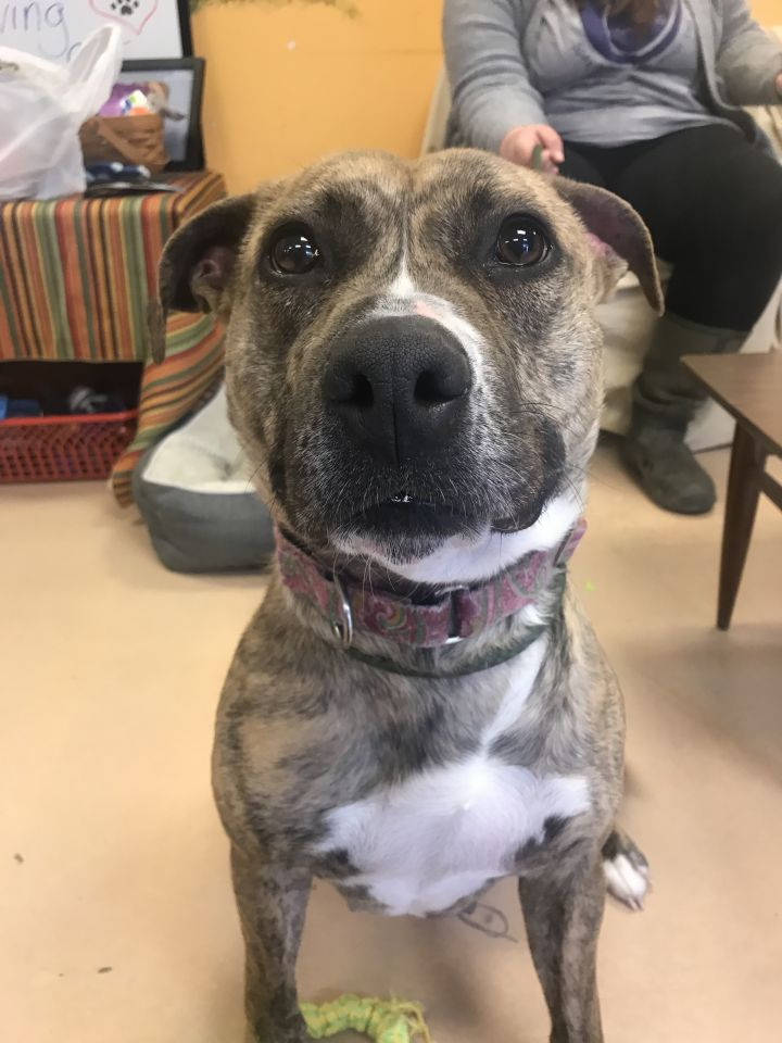 Sasha, an adoptable Staffordshire Bull Terrier Mix in Walden, NY