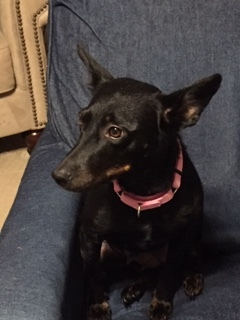 Dog For Adoption Queen B A Miniature Pinscher Chihuahua Mix In