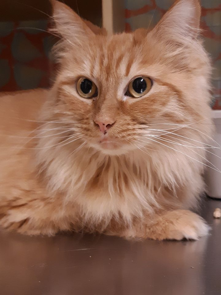 Peanut, an adopted Domestic Long Hair in Cambridge, MA