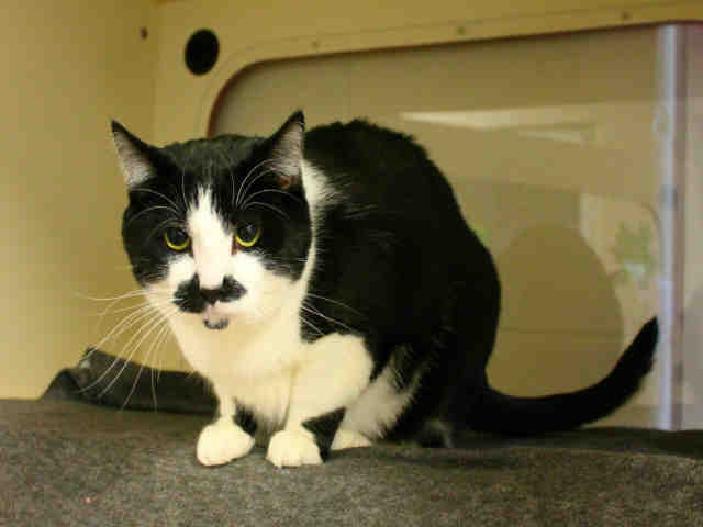 1486742cee Cat for Adoption – KIT
