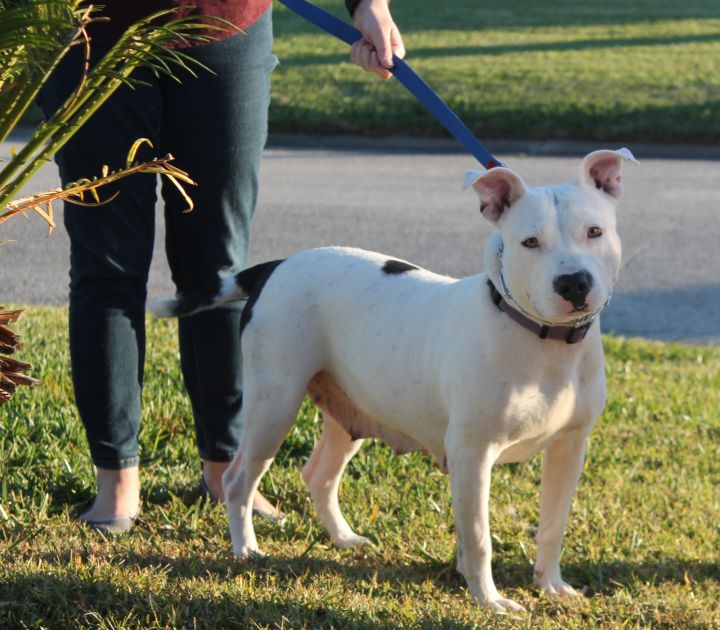 Millie, an adopted Pit Bull Terrier & Pointer Mix in New Smyrna Beach, FL