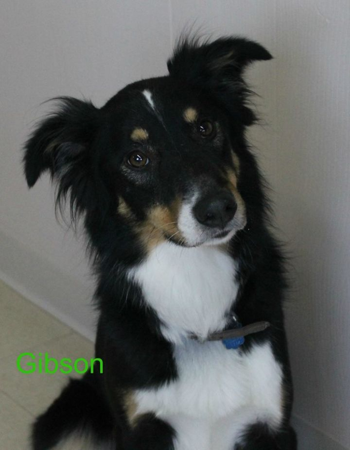 Dog For Adoption Gibson Back Up For Adoption An Australian