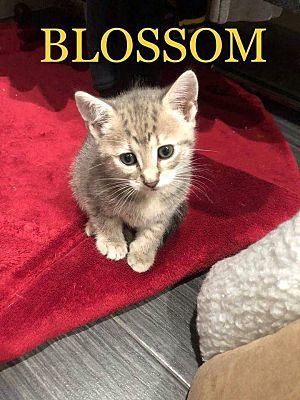 Blossom, an adopted Domestic Short Hair in Wantagh, NY