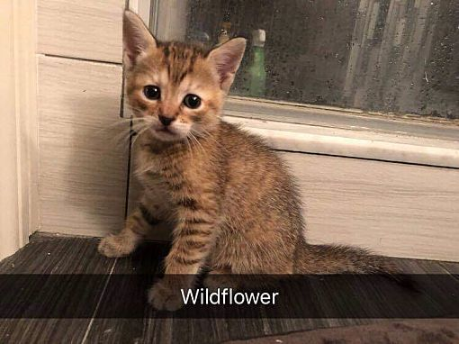 Wildflower, an adopted Domestic Short Hair in Wantagh, NY
