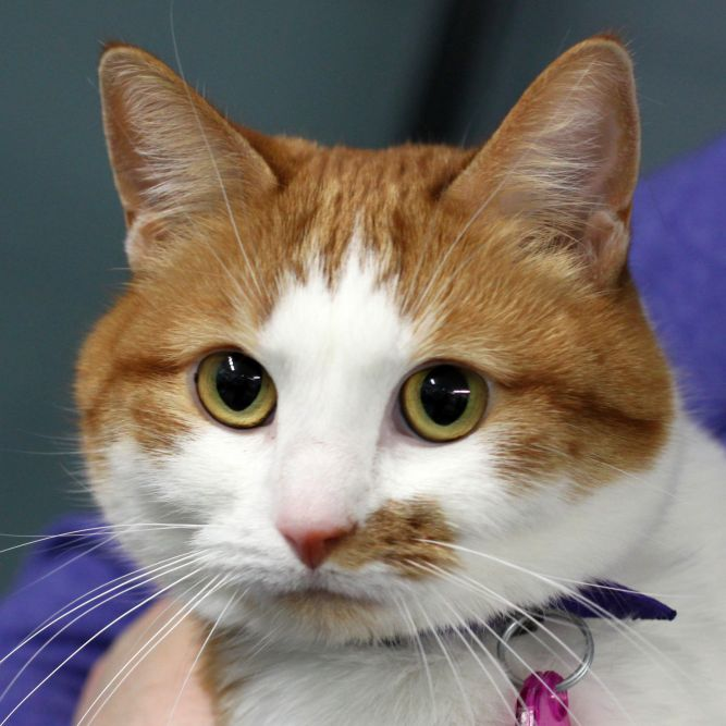 Ginger  (declawed front paws)