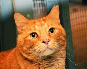 Sammy was living as a stray near a feral colony managed by Shadow Cats many years ago when some peop
