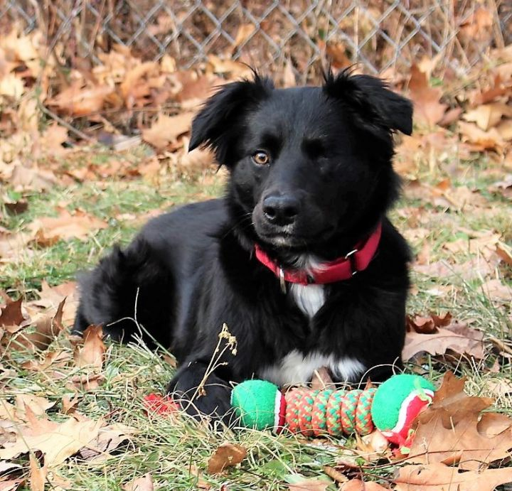 Gigi *HERE IN NH*, an adopted Border Collie Mix in Northwood, NH