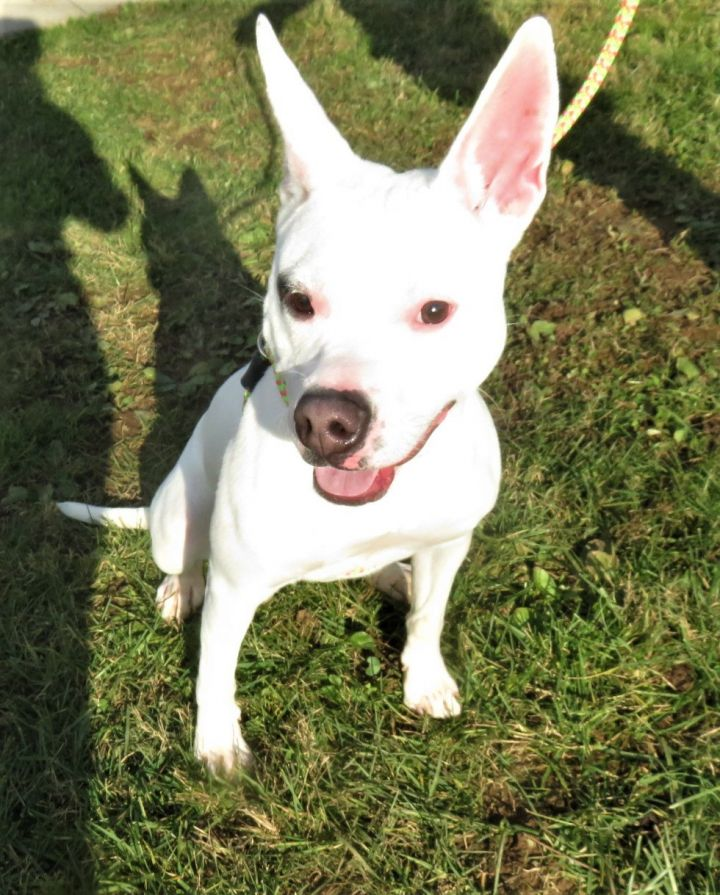 Dasha, an adopted Pit Bull Terrier & Shepherd Mix in Harrisburg, PA