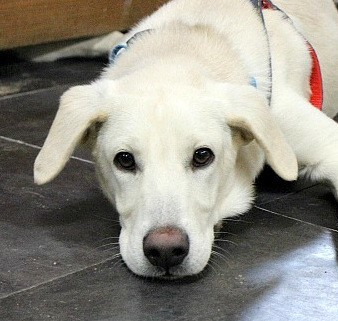 Mikey, an adopted Labrador Retriever Mix in Reston, VA_image-1