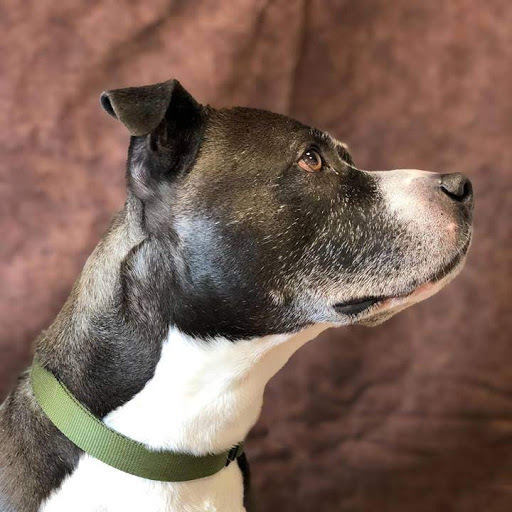 Gumbo *Foster*, an adoptable Pit Bull Terrier Mix in Appleton, WI