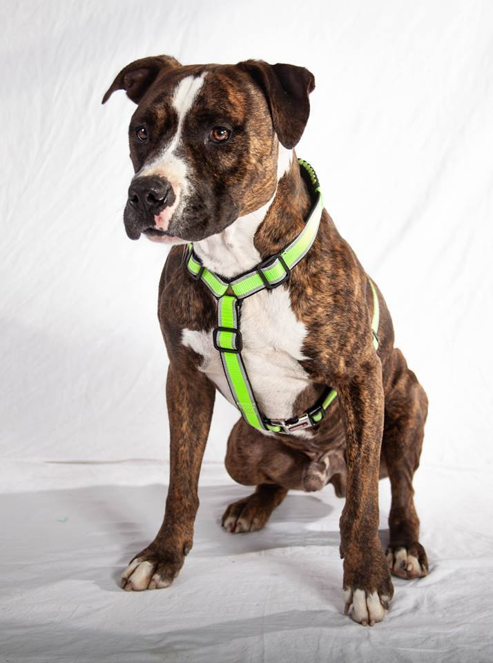 Tony, an adopted Pit Bull Terrier Mix in Lexington, KY