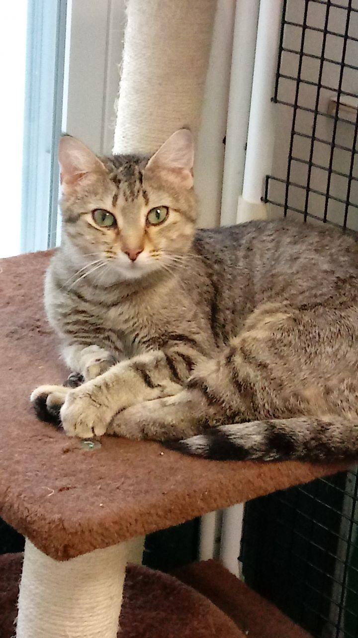 Stripes, an adopted Domestic Short Hair Mix in Altoona, PA
