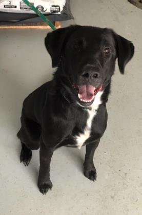 Rudy, an adopted Labrador Retriever in Allegan, MI