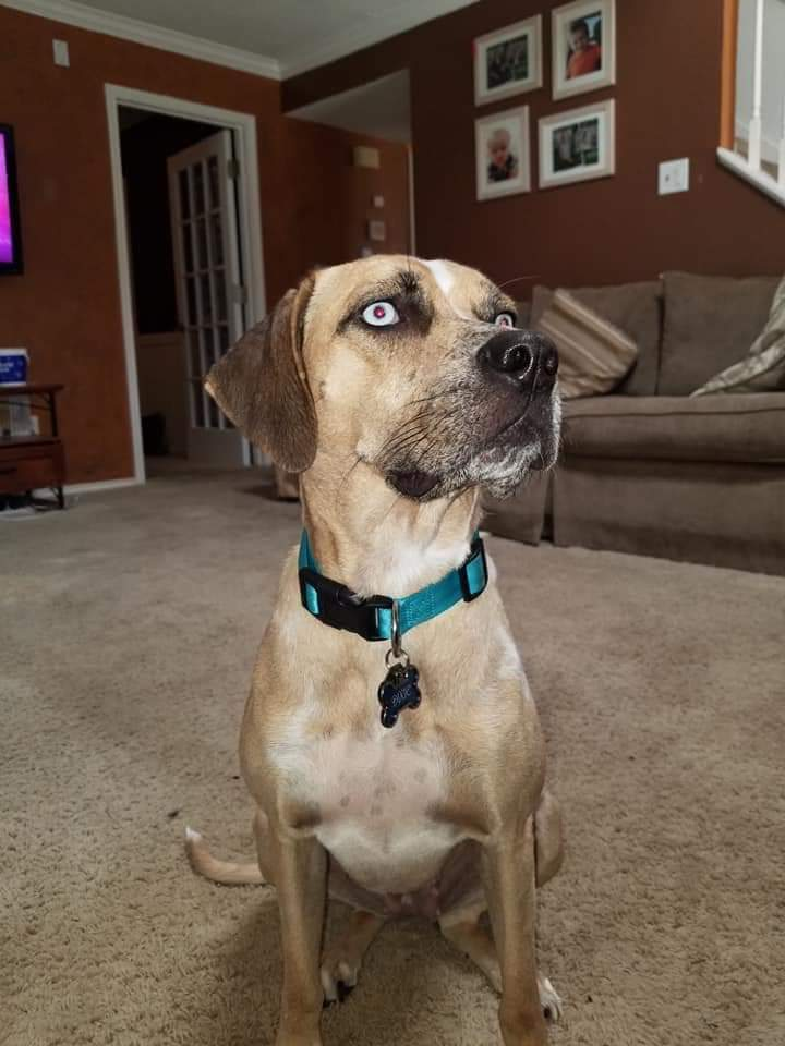 Dog For Adoption Dixie A Catahoula Leopard Dog Mix In Lubbock Tx