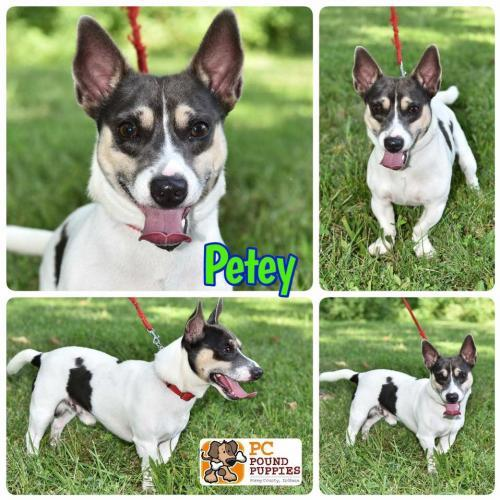 Dog For Adoption Petey A Jack Russell Terrier Mix In Mt Vernon